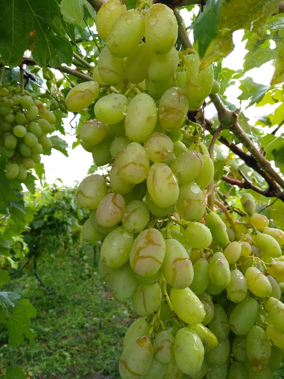 виноград трескается